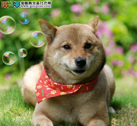 出售高品质柴犬、专业繁殖包质量、可签保障协议