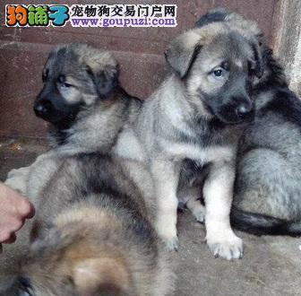 热卖昆明犬宝宝,CKU认证品质,购买保障售后