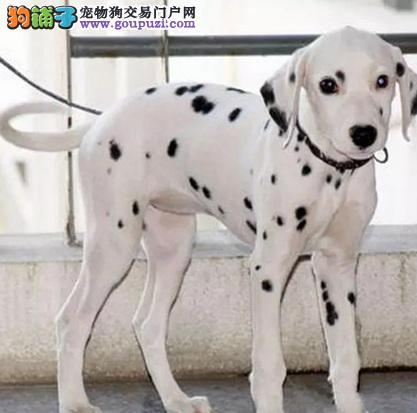 苏州正规犬舍高品质斑点狗带证书三针疫苗齐全