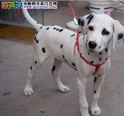 斑点狗广东最大的正规犬舍完美售后三针疫苗齐全