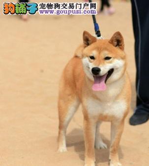 嘉兴纯种日本柴犬 聪明机警