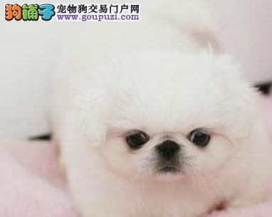 京巴幼犬 血统纯 品相佳 家养狗狗最好的选择哦 长沙