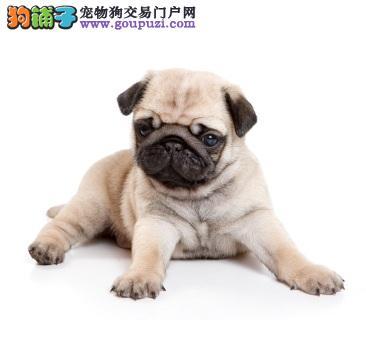 包头人见人爱巴哥幼犬样子十分可爱 聪明健康活泼