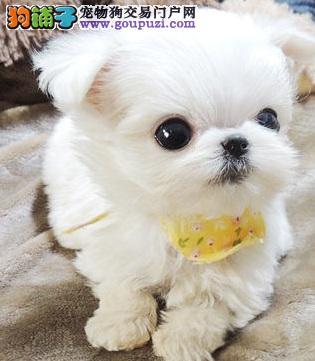克拉玛依出售娇小 迷人 高贵的马尔济斯幼犬