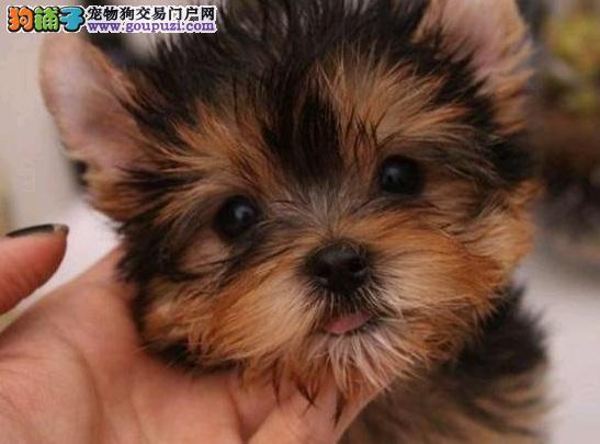 广州养殖基地直销做好疫苗金头银背约克夏幼犬可上门