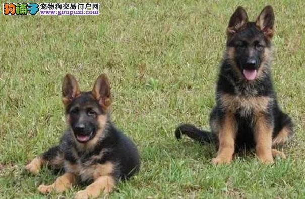 高品质狼狗幼犬、全程实拍直接视频、三年质保协议