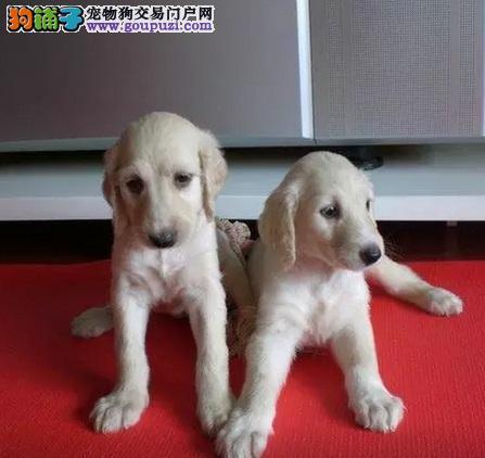 正规犬舍高品质阿富汗猎犬带证书全国质保全国送货