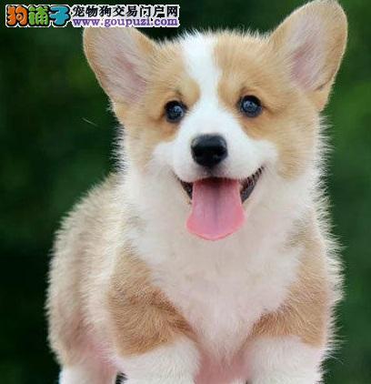 纯血统柯基幼犬 CKU认证犬舍 寻找它的主人
