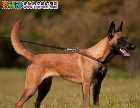 专业正规犬舍热卖优秀的广东马犬多种血统供选购