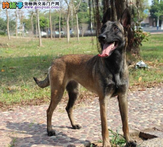 自贡出售极品马犬幼犬完美品相质量三包多窝可选