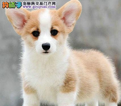 CKU犬舍认证出售高品质西宁柯基一宠一证视频挑选