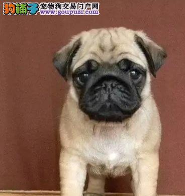 重庆哪边有卖巴哥犬重庆温顺巴哥犬价钱重庆巴哥犬价格