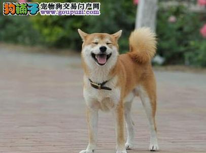 珠海引进日本柴犬宝宝、保证纯种健康