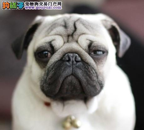 犬业有卖超可爱逗人的小型巴哥犬买