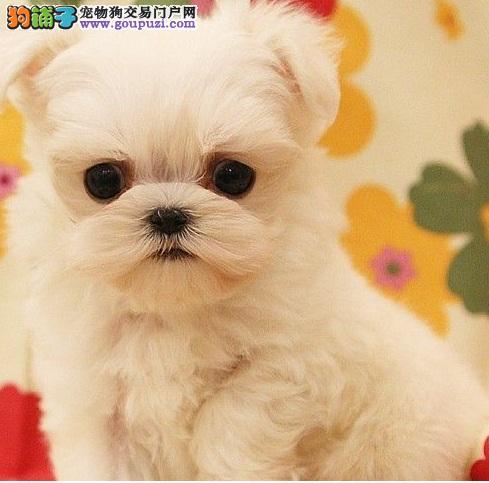 马尔济斯幼犬出售中 假一赔十纯度第一 专业信誉服务