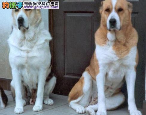 中亚牧羊犬沈阳最大的正规犬舍完美售后国外引进假一赔百