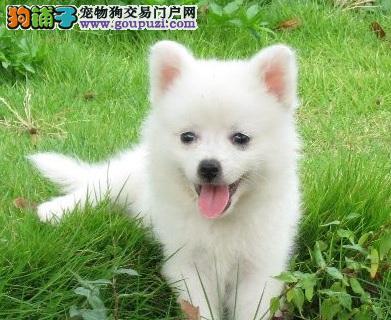 银狐犬 专业繁殖日本尖嘴银狐犬出售
