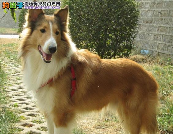 威海纯种苏格兰牧羊犬幼犬毛色靓体型佳健康保障多