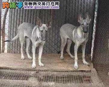高端犬幼犬,专业繁殖包质量,三包终生协议
