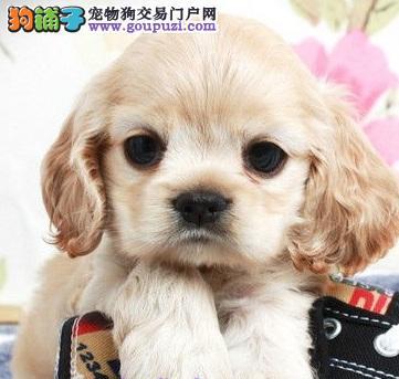 CKU犬舍认证漳州出售纯种可卡国际血统证书