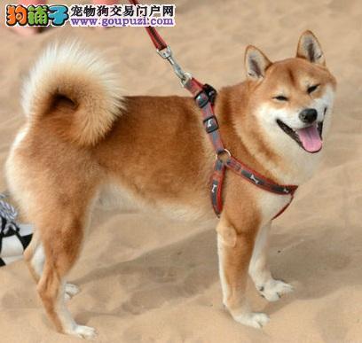 大庆极品高智商日本柴犬幼犬高品质机灵 疫苗已做