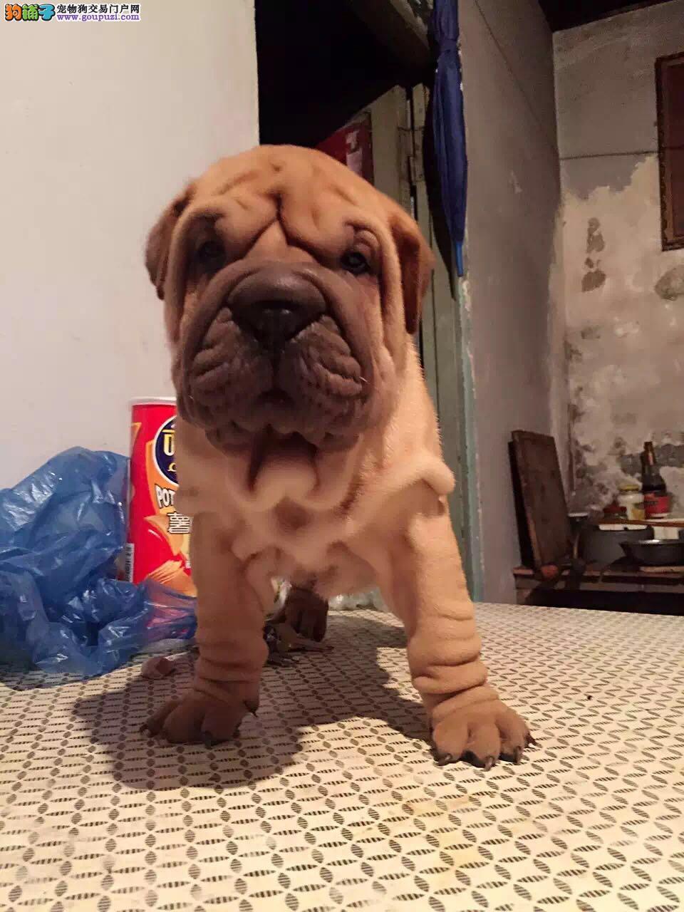 专业繁殖沙皮犬 质保三年 签订协议 种狗对外借配