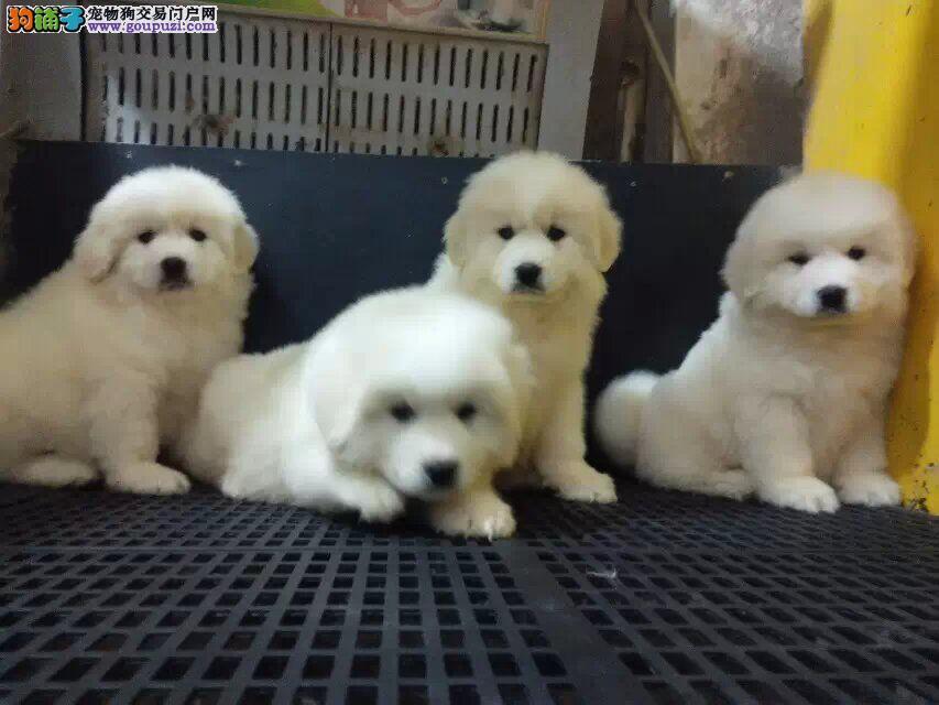 纯种高品质大白熊幼犬三年质保免费送货签订质保协议