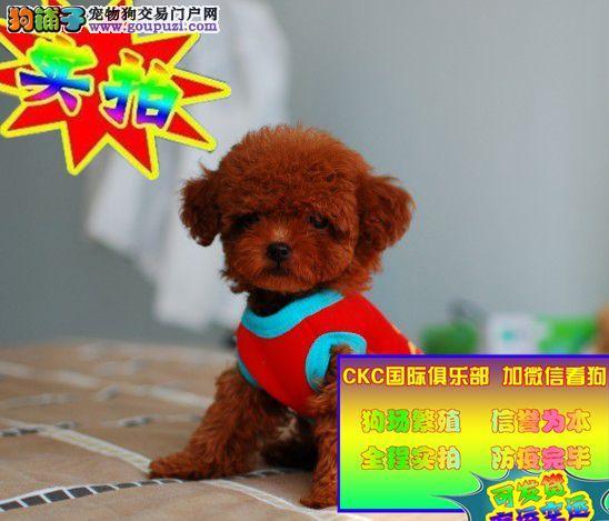 纯种韩系泰迪熊 茶杯、玩具 可爱至极 购买可签订协
