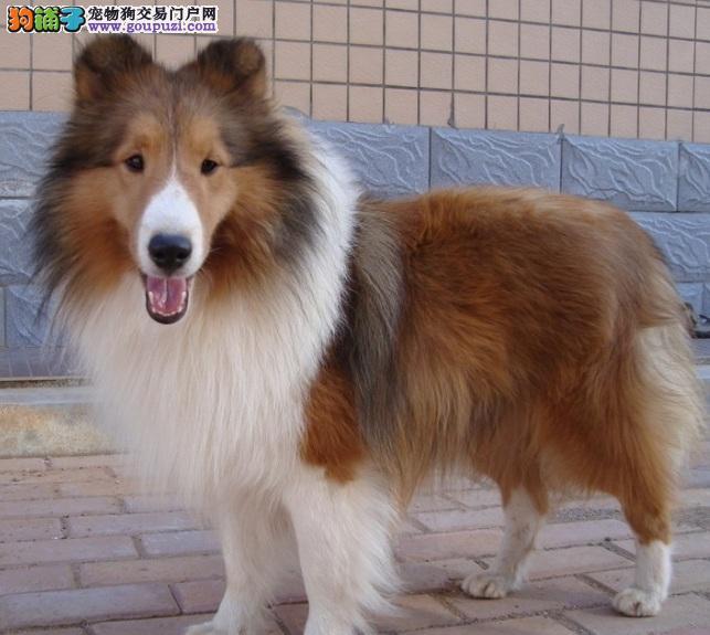 赛级品相苏牧幼犬低价出售可签合同刷卡