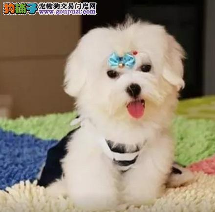 纳纳520犬业直销顶级纯血统马尔济斯犬宝宝