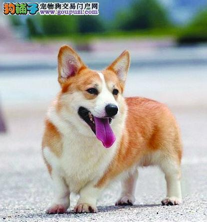 襄樊顶级精品威尔士柯基犬出售 疫苗做齐