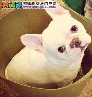 品质健康有保障杭州法国斗牛犬热卖中国际血统认证