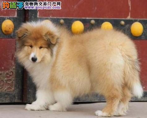 出售多种颜色白城纯种苏牧幼犬全国送货上门
