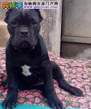 CKU认证犬舍出售高品质卡斯罗犬微信咨询视频看狗