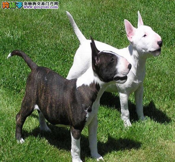 犬舍直销品种纯正健康牛头梗冠军级血统品质保障