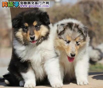 湖南怀化出售苏格兰牧羊犬价格优惠