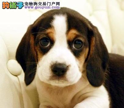 养殖场直销完美品相的比格犬品质保障可全国送货