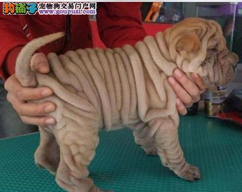出售纯种健康的沙皮幼犬