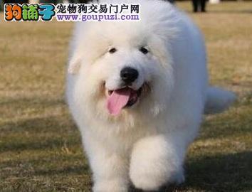 多种颜色的赛级大白熊幼犬寻找主人微信咨询看狗狗照片