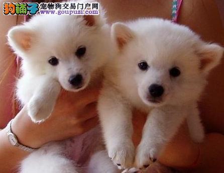 日本尖嘴银狐出售品相好、保纯种、保健康 宠物狗