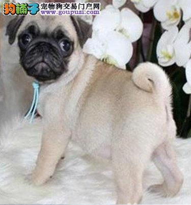 长沙虎头虎脑的巴哥幼犬低价出售 家养繁殖