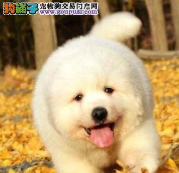 宁波出售纯种大骨量大白熊幼犬 王者风范品相纯正