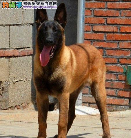 专业正规犬舍热卖优秀的北京马犬请您放心选购