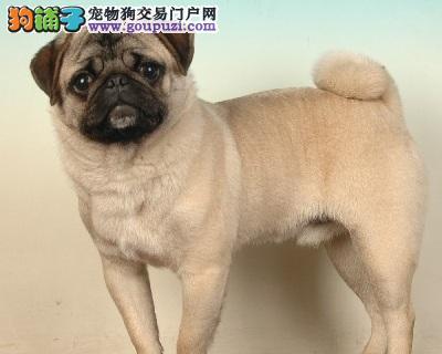 家养极品巴哥犬出售 可见父母颜色齐全真实照片包纯