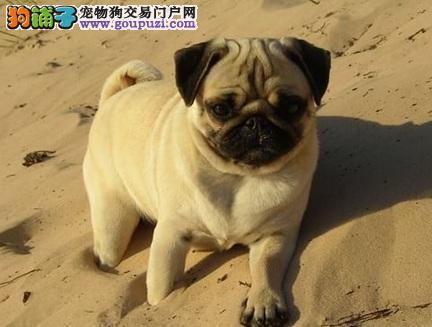 苏州聪明可爱的高品质巴哥犬健康血统有保障拉风出售