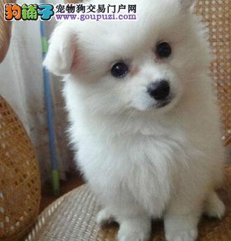 国际注册犬舍 出售极品赛级银狐犬幼犬签订保障协议
