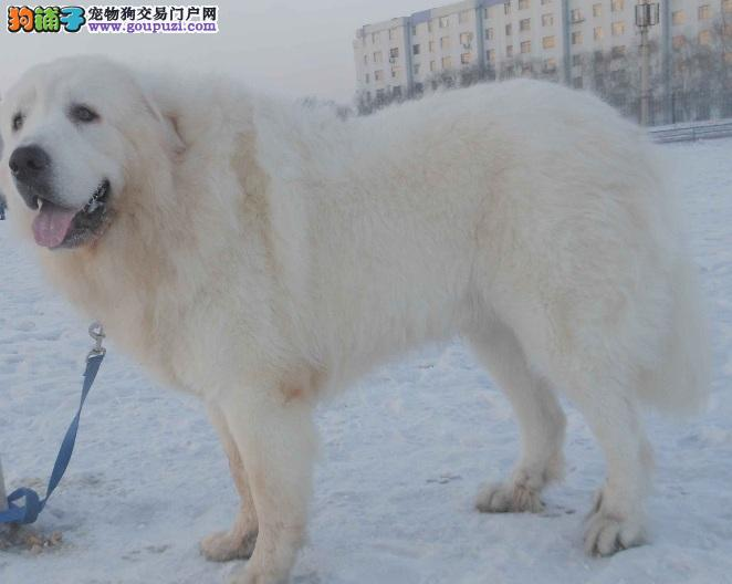 拉萨精品大白熊犬骨量粗壮可见狗狗父母