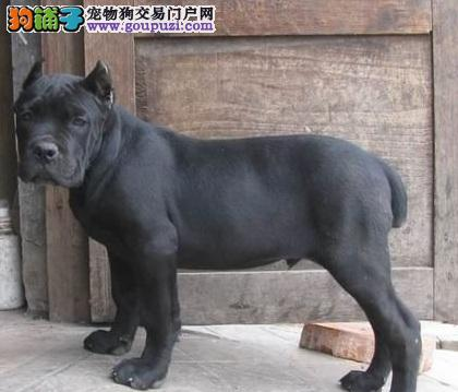 专业正规犬舍热卖优秀卡斯罗犬签订三包合同