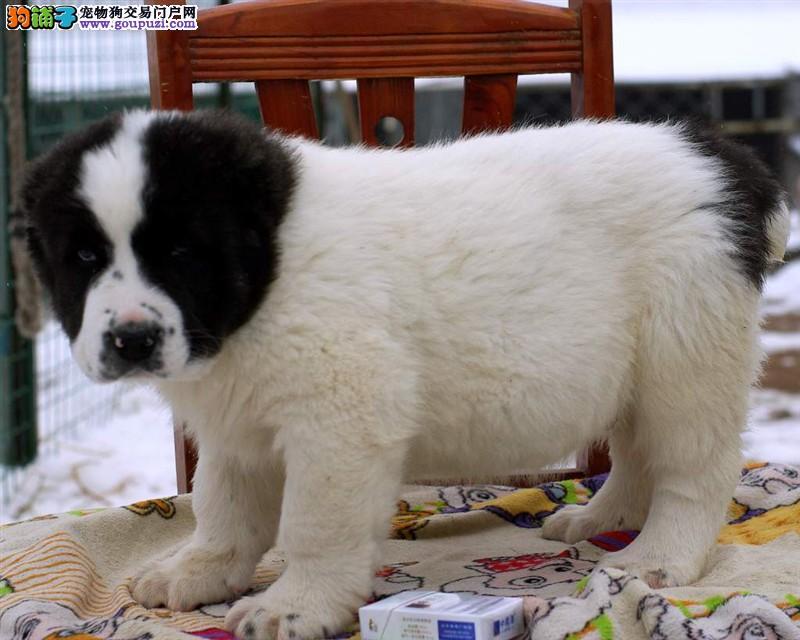 家养极品中亚牧羊犬出售 可见父母颜色齐全欢迎爱狗人士上门选购