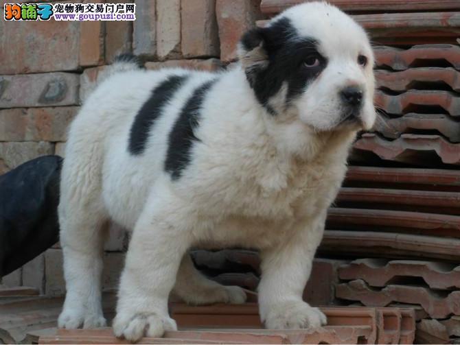 纯种中亚牧羊犬幼犬 保证品质一流 购买保障售后